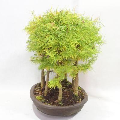 Outdoor bonsai - Pseudolarix amabilis - Pamodřín - grove of 9 trees - 3