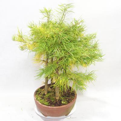 Outdoor bonsai - Pseudolarix amabilis - Pamodřín - grove of 5 trees - 3