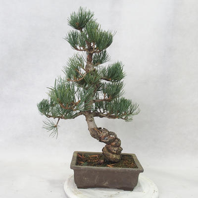 Outdoor bonsai - Pinus parviflora - Small-flowered pine - 3
