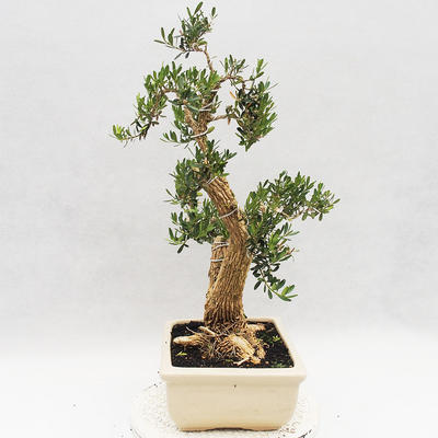 Indoor bonsai - Buxus harlandii - Cork boxwood - 3