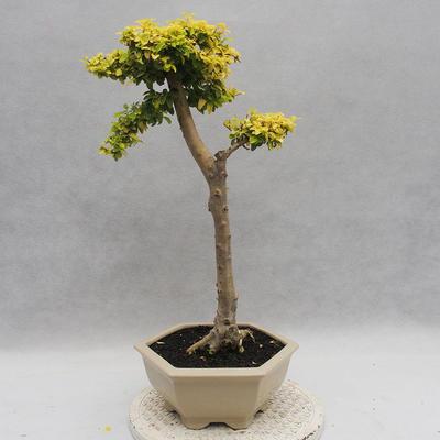 Indoor bonsai -Ligustrum Aurea - Bird's beak - 3
