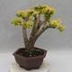 Indoor bonsai -Ligustrum Aurea - Bird's beak - 3/6