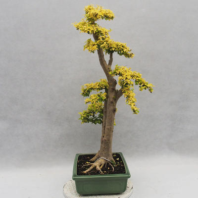 Indoor bonsai -Ligustrum Aurea - Bird's beak - 3