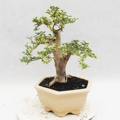 Indoor bonsai -Ligustrum Variegata - Bird's beak - 3