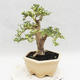 Indoor bonsai -Ligustrum Variegata - Bird's beak - 3/6