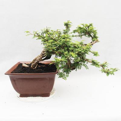 Indoor bonsai -Phyllanthus Niruri- Smuteň - 3