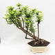 Indoor bonsai -Phyllanthus Niruri- Smuteň - 3/5
