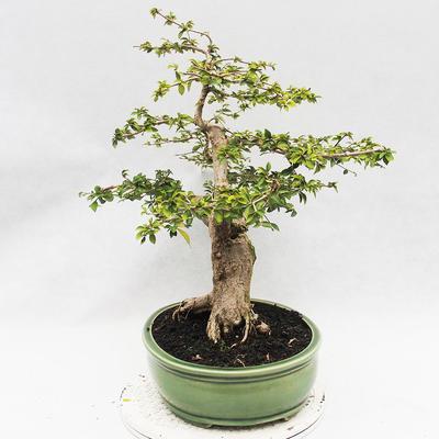 Indoor bonsai - Cudrania equisetifolia - 3