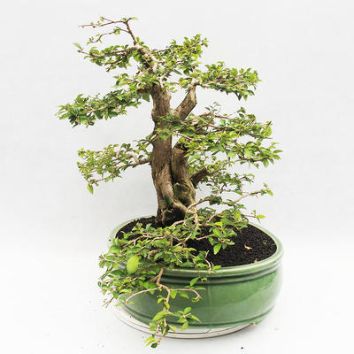 Indoor bonsai - Cudrania equisetifolia - 3