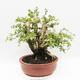 Indoor bonsai - Cudrania equisetifolia - 3/5