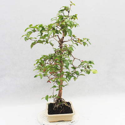 Indoor Bonsai - Australian Cherry - Eugenia uniflora - 3