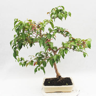 Room Bonsai - Australian Cherry - Eugenia uniflora - 3