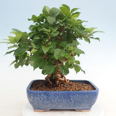 Indoor bonsai -Eleagnus - Hlošina - 3