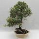 Indoor bonsai -Eleagnus - Hlošina - 3/6