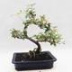 Indoor bonsai -Eleagnus - Hlošina - 3/5
