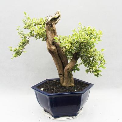 Indoor bonsai - Duranta erecta Variegata - 3