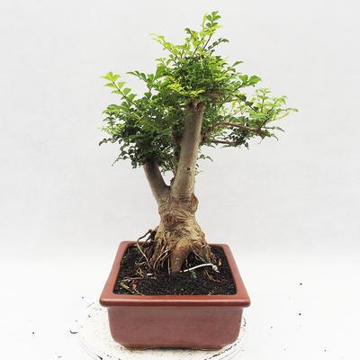 Indoor Bonsai - Fraxinus uhdeii - Indoor Ash - 3
