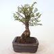 Outdoor bonsai - Ulmus parvifolia SAIGEN - Small-leaved elm - 3/7