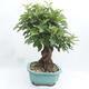 Outdoor bonsai -Malus Halliana - fruited apple - 3/6