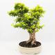 Indoor bonsai - Duranta erecta Aurea - 3/6