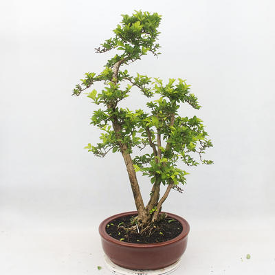 Indoor bonsai - Duranta erecta Aurea - 3