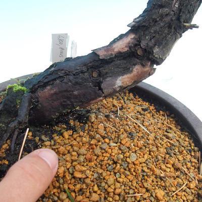Outdoor bonsai - Pinus Sylvestris - Forest Pine - 3