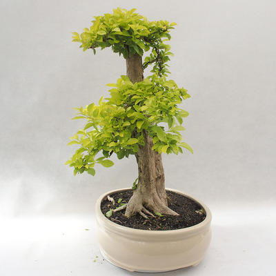 Indoor bonsai - Duranta erecta Aurea - 3