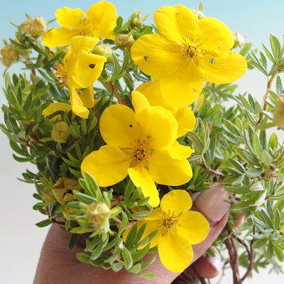 Outdoor bonsai-Cinquefoil - Dasiphora fruticosa yellow - 3