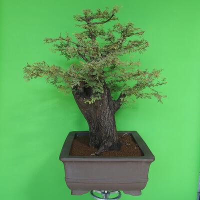 Indoor bonsai - Akacia Arabica - 3