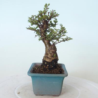 Outdoor bonsai - Ulmus parvifolia SAIGEN - Small-leaved elm - 3