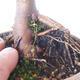 Outdoor bonsai - Acer palm. Atropurpureum-Red palm leaf - 3/6