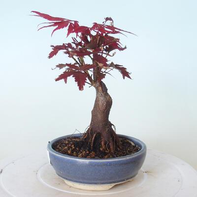 Outdoor bonsai - Acer palm. Atropurpureum-Red palm leaf - 3