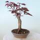 Outdoor bonsai - Acer palm. Atropurpureum-Red palm leaf - 3/5
