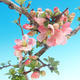 Outdoor bonsai - Chaneomeles japonica - Japanese Quince - 3/4