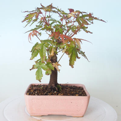 Outdoor bonsai - Maple palmatum sangokaku - Maple palm leaf - 3