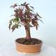 Outdoor bonsai - Maple palmatum sangokaku - Maple palm leaf - 3/5