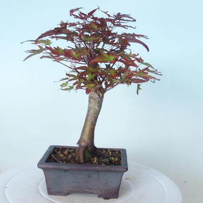 Outdoor bonsai - Maple palmatum DESHOJO - Maple palmate - 3