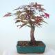 Outdoor bonsai - Maple palmatum DESHOJO - Maple palmate - 3/6