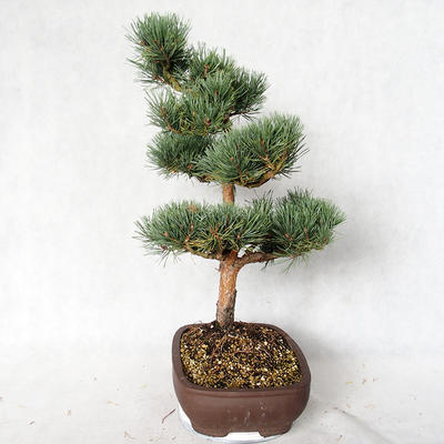 Outdoor bonsai - Pinus sylvestris Watereri - Scots pine VB2019-26848 - 3