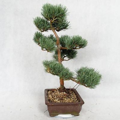 Outdoor bonsai - Pinus sylvestris Watereri - Scots pine VB2019-26852 - 3