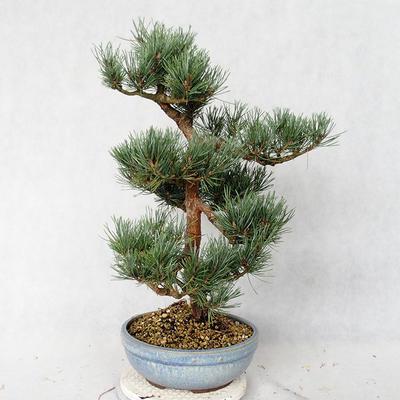 Outdoor bonsai - Pinus sylvestris Watereri - Scots pine VB2019-26859 - 3