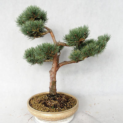 Outdoor bonsai - Pinus sylvestris Watereri - Scots pine VB2019-26868 - 3