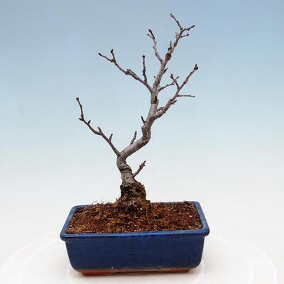 Outdoor bonsai - Pinus sylvestris Watereri - Scots pine VB2019-26870 - 3