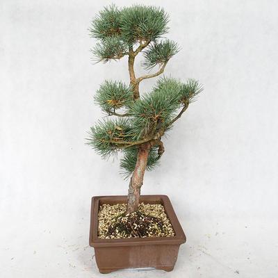 Outdoor bonsai - Pinus sylvestris Watereri - Scots pine VB2019-26878 - 3