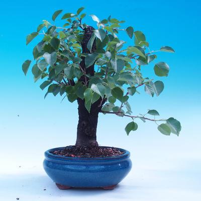 Outdoor bonsai - Prunus mahaleb - 3