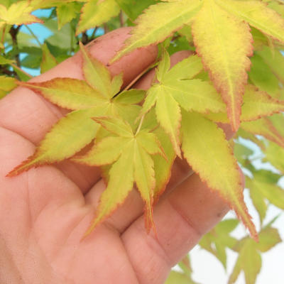 Acer palmatum Aureum - Japanese maple VB2020-469 - 3