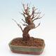 Outdoor bonsai - Buergerianum Maple - Burger Maple - 3/5