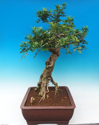Room bonsai - Muraya paniculata - 3