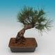 Pinus thunbergii - Pine thunbergova - 3/4