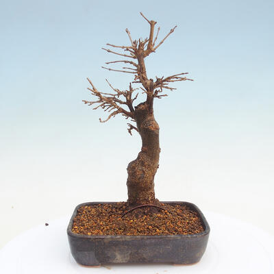 Outdoor bonsai - Buergerianum Maple - Burger Maple - 3